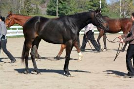 Muscade E. M. at her first show the Défi sportif at Blainville Equestrian Park in May 2012; handled by owner & breeder, Mathilde Vincent. © Marie-Philippe Busque.