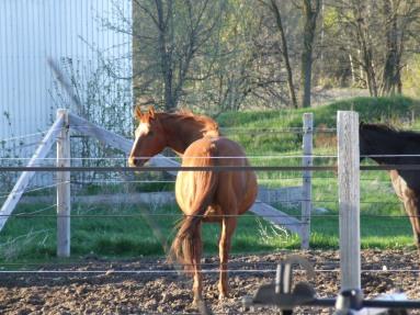 Barbarees Hill (Spring 2011, in foal to Wolkentanz II)
