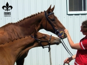 Bourgault E. M., premium colt at his GOV inspection in 2012 along with his dam, Barbarees Hill, MMB GOV Thoroughbred mare.