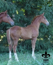 Bourgault E. M. - 2012 PREMIUM Oldenburg colt by Banderas out of Barbarees Hill. $9,500
